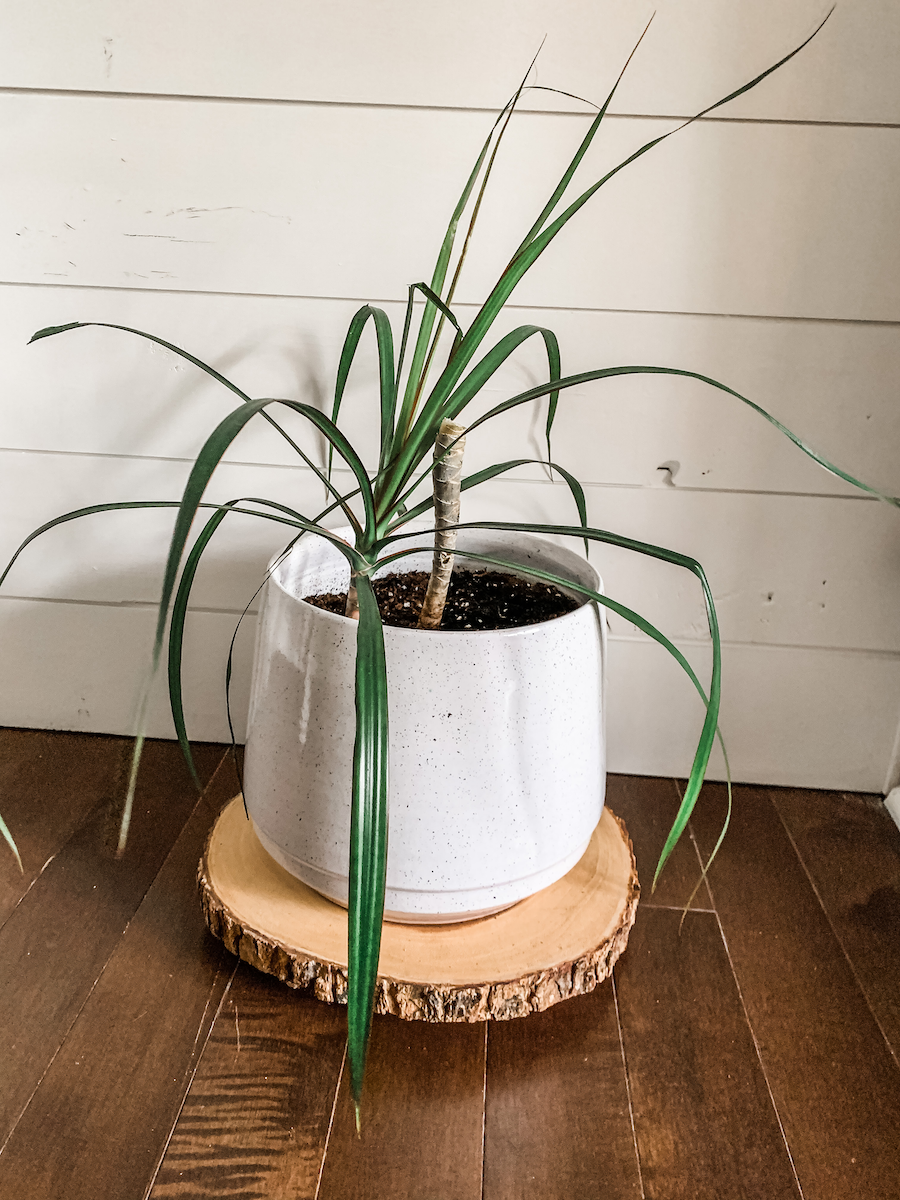two dracaena plants in one pot after pruning