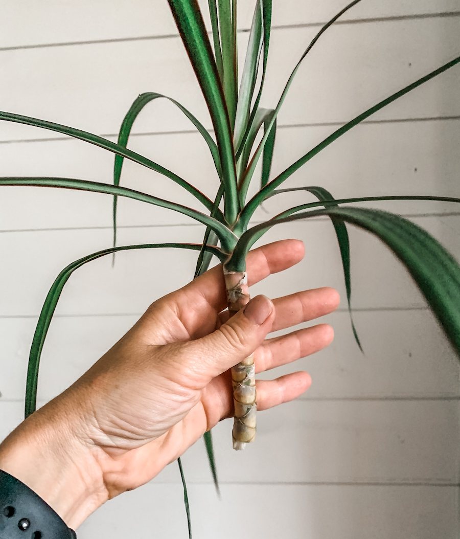 making a new stem for pruned dracaena plant