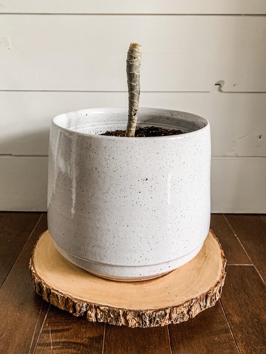 stem planted in planter