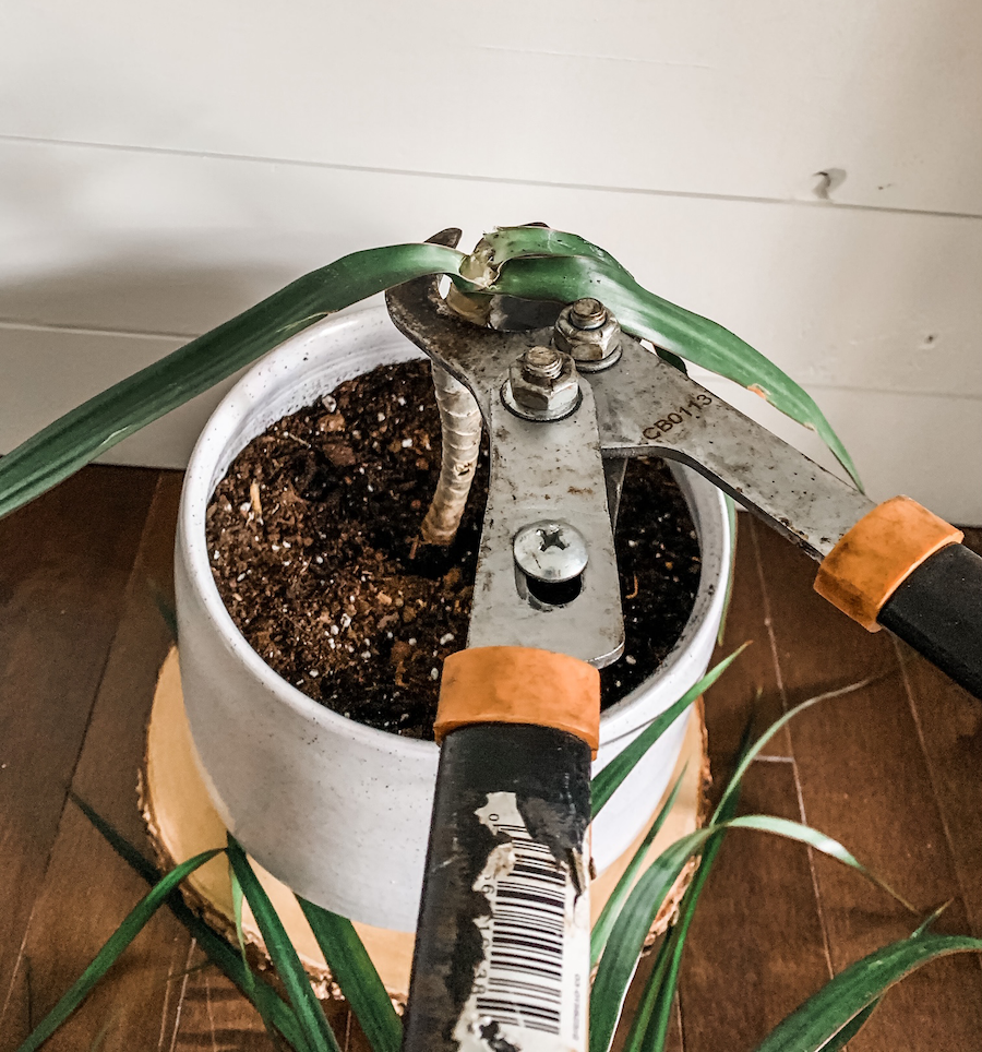 clipping the top off of a plant to prune