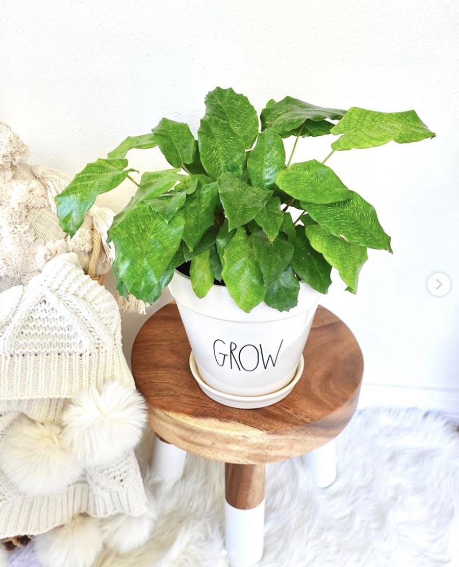 green plant in rae dunn grow pot