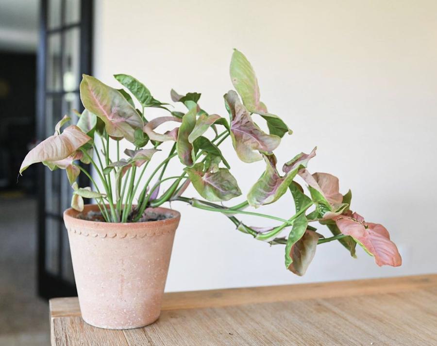 arrowhead plant in terracotta pot