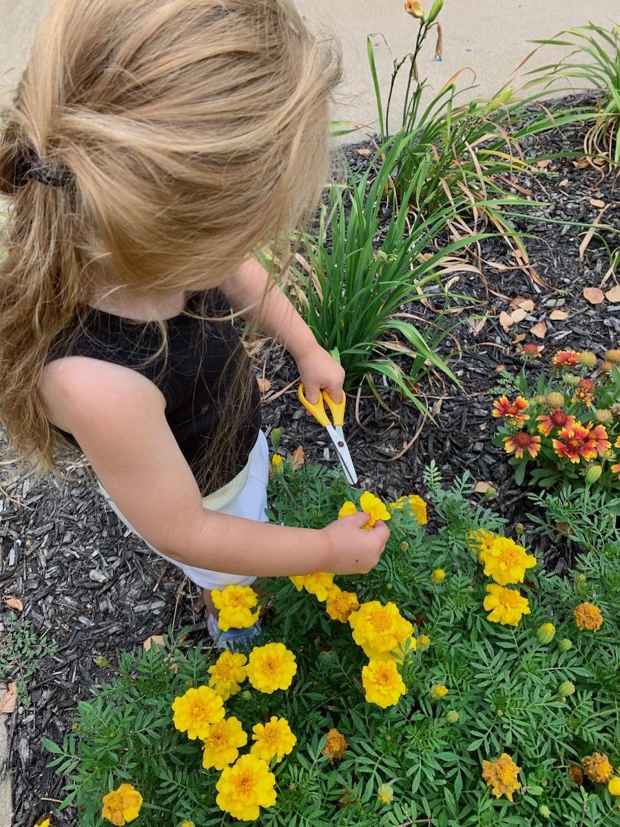 revi cuts marigolds from garden