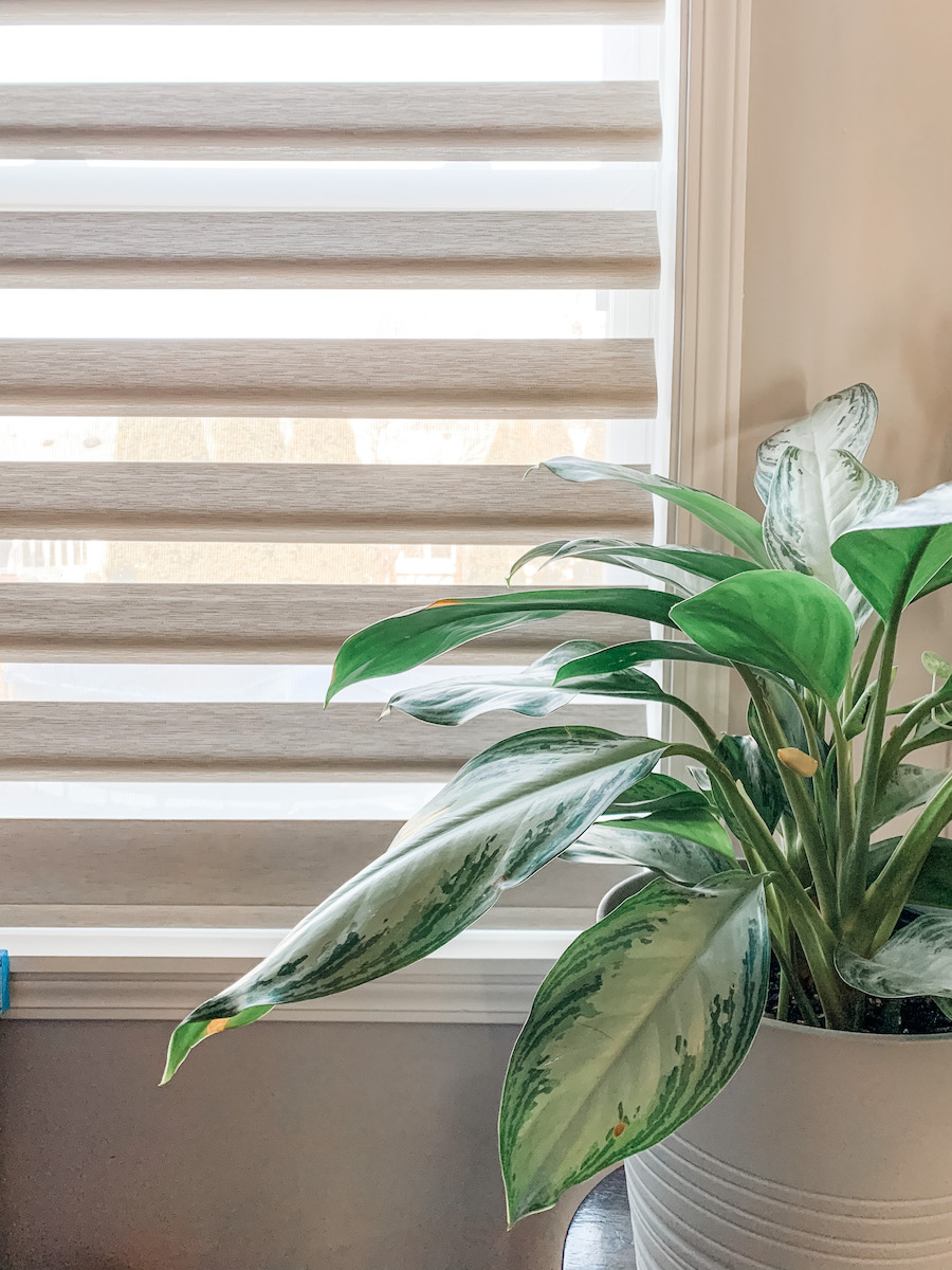 aglaonema chinese evergreen plant in north facing window location