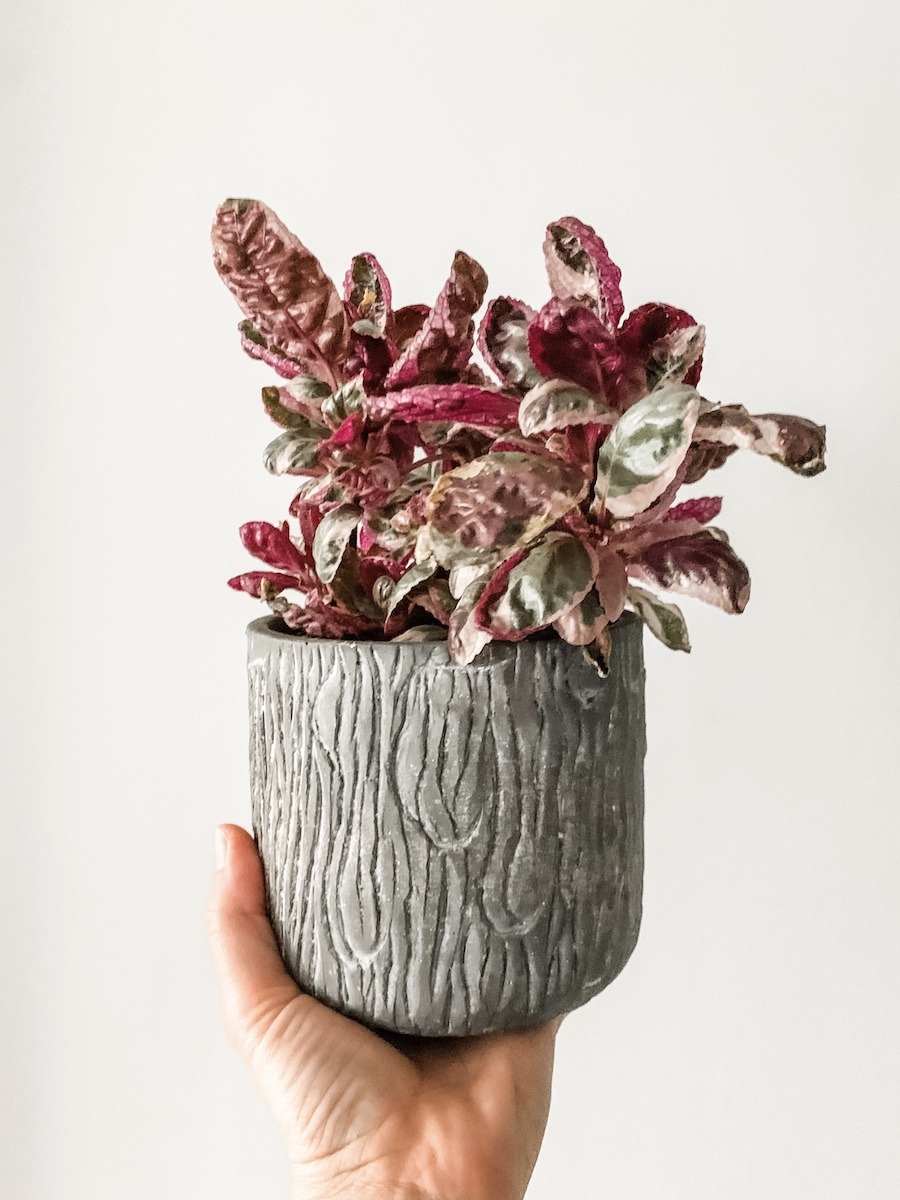 snow white waffle plant in gray planter
