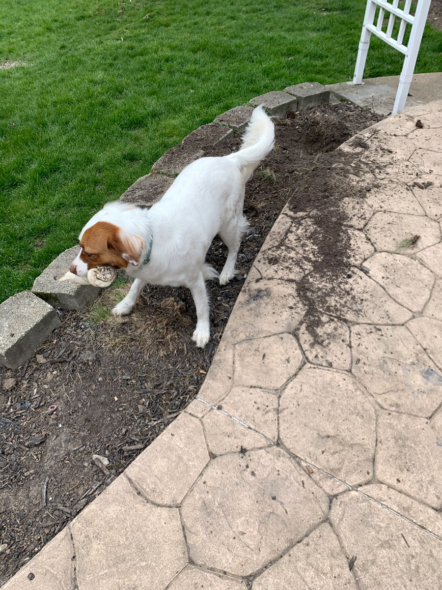 dog standing on mulch bed by retaining wall