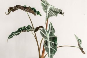 how to save a dying alocasia polly plant